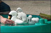 BNPS.co.uk (01202 558833)<br /> Pic: PhilYeomans/BNPS<br /> <br /> Despite going under the chicks soon bob up again and even climb on the surrogates back.<br /> <br /> Incubator hatched cygnets learn how to swim...<br /> <br /> A pair of baby cygnets hatched in an incubator had their first swimming lesson at the Birdland animal park in Bourton on the water yesterday.<br /> <br /> Unlike in the wild these chicks had never seen water before and keeper Chris Abbey had to coax them in to a special pool using a decoy soft toy to replicate their parents.<br /> <br /> The park decided to hatch the egg's in an incubator after losing a previous clutch, and now have to teach the cygnets some basic skills before reintroducing them to their group in the park.<br /> <br /> The chicks learnt very quickly even jumping on the back of the soft toy as they would their mothers in the wild.
