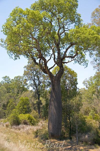 Queensland Bottle Tree (Brachychiton rupestris), en route from Carnarvon Gorge National Park, Queensland, Australia