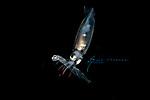 Larval Squid eats larval lizardfish, Anilao 2019, possible Gianteye Squid, Abralia veranyi, deep water squid.