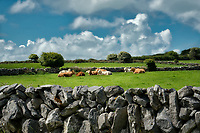 Cows in pasture with stone fence. The Burren, County Clare, Ireland