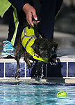 Images from the 10th annual Pooch Plunge at the Carson City Aquatics Center, in Carson City, Nev., on Saturday, Sept. 22, 2018. The event is a fundraiser for the Carson Animal Services Initiative which supports Nevada Humane Society services in Carson City.<br /> Photo by Cathleen Allison/Nevada Momentum