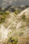 Red wine grapes under irrigation, spring, Bell Road, Shenandoah Valley, Amador Co. Calif.