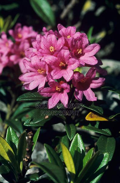 Hairy Alpine Rose, Rhododendron hirsutum, blooming, Alps, Switzerland, June 1995