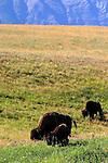 American Bison ; Buffalo ; bos bison