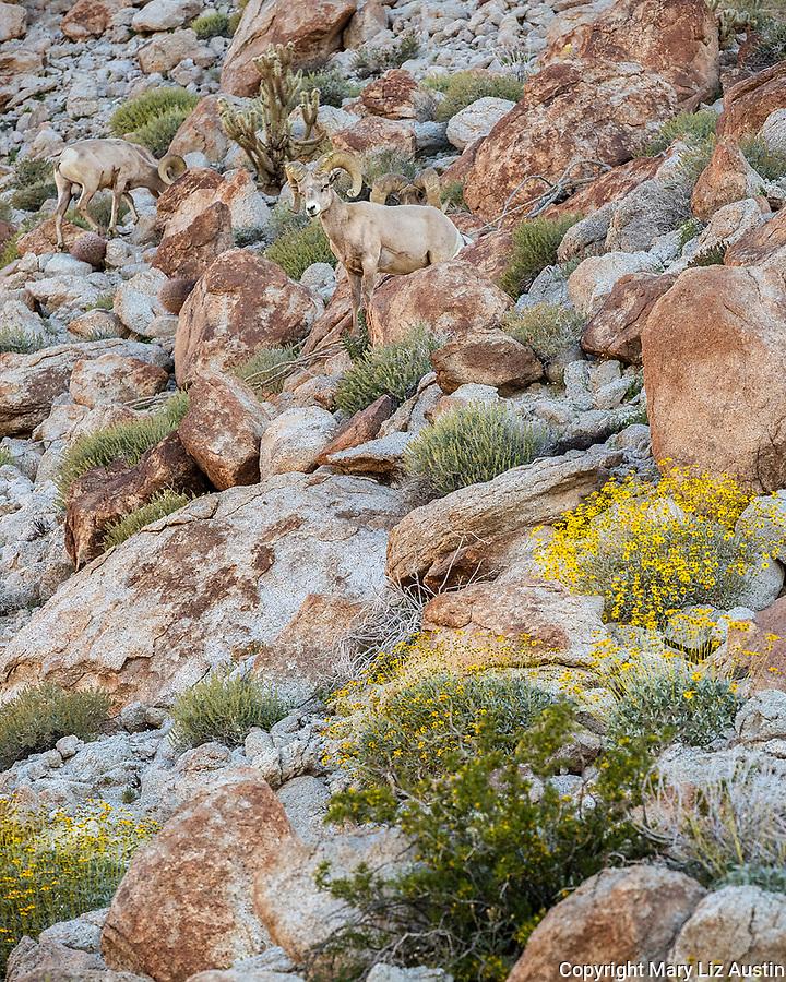 Anza-Borrego Desert State Park: Three male desert bighorn sheep blend in on a rocky hillside in spring