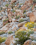 Anza-Borrego Desert State Park: Three male desert bighorn sheep blend in on a rocky hillside in spring