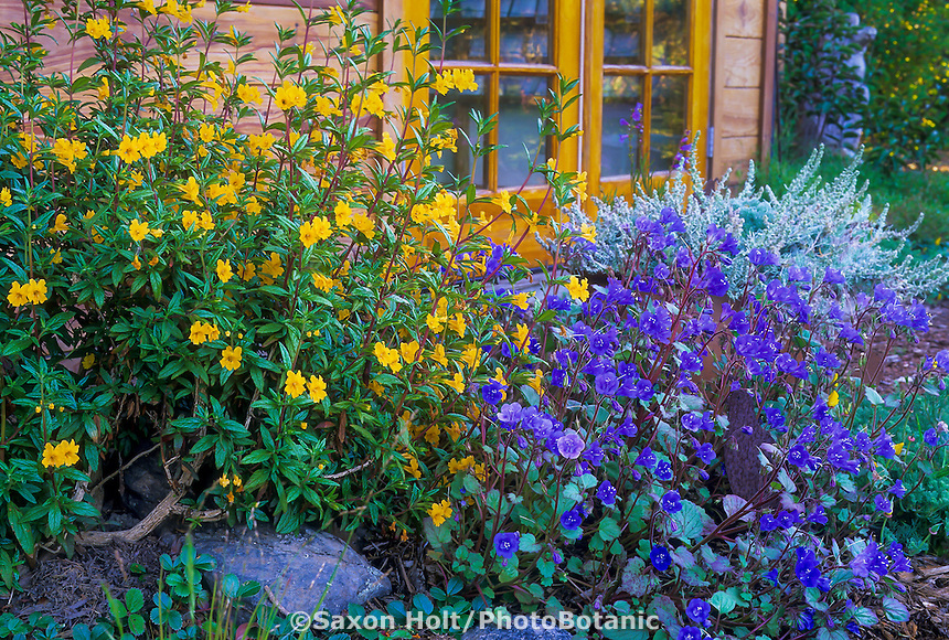 California native plants (ylw) Mimulus aurantiacus (Sticky Monkeyflower) and (blue) Phacelia campanularia (California Desert Bluebells)
