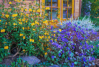California native plants (ylw) Mimulus aurantiacus (Sticky Monkeyflower) and (blue) Phacelia campanularia (California Desert Bluebells)