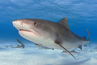 A large Tiger Shark, Galeocerdo cuvier, patrols past an old ship's anchor in the shallows of the Little Bahama Bank, Bahamas. Atlantic Ocean