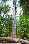 Cathedral Grove, located in MacMillan Provincial Park, is one of the most accessible stands of giant Douglas fir trees on Vancouver Island.  Visitors can stroll through a network of trails under the shadow of towering ancient Douglas-fir trees, some more than 800 years old.Trails on either side of the highway lead visitors through the mighty stands of this coastal forest. Pictured here is the largest tree in the park.  The largest tree in Cathedral Park is this giant Douglas fir.  It is over 800 years old, 76 meters tall and 9 meters in circumference. The Douglas Fir is one of Canada's oldest living tree species.
