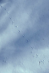 tracks of Ruffed grouse, Bonasa umbellus, in snow, game bird, gallinaceous<br />