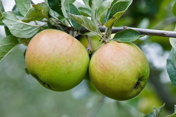 Apple 'King of the Pippins', early September. A very old dual-purpose culinary-dessert apple whose origins may be Engish or French. Once called 'Golden Winter Pearmain' in the UK it was renamed 'King of the Pippins' in the early 19th century, although in the west Midlands, it may still be called 'Prince's Pippin'. In France it has been known as 'Reine des Reinettes' since the 1770s, and in Germany as 'Gold Parmaine' or 'Gold Parmane'.