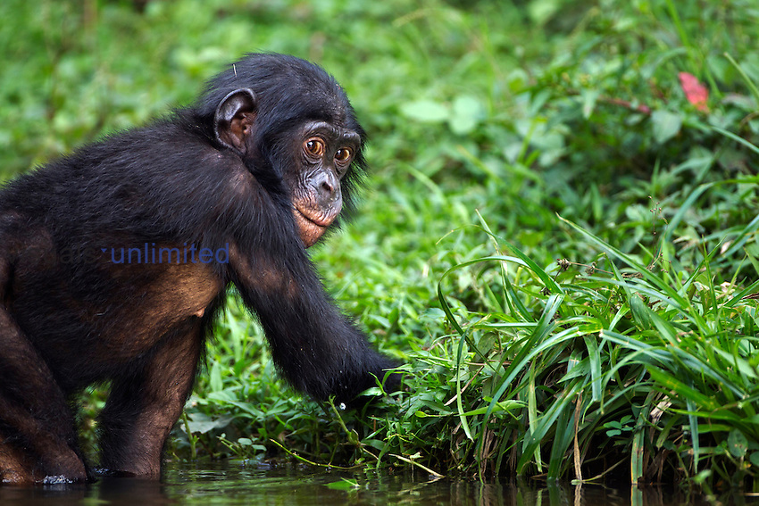 Bonobo juvenile male aged 4 years in water (Pan paniscus), Lola Ya Bonobo Sanctuary, Democratic Republic of Congo.