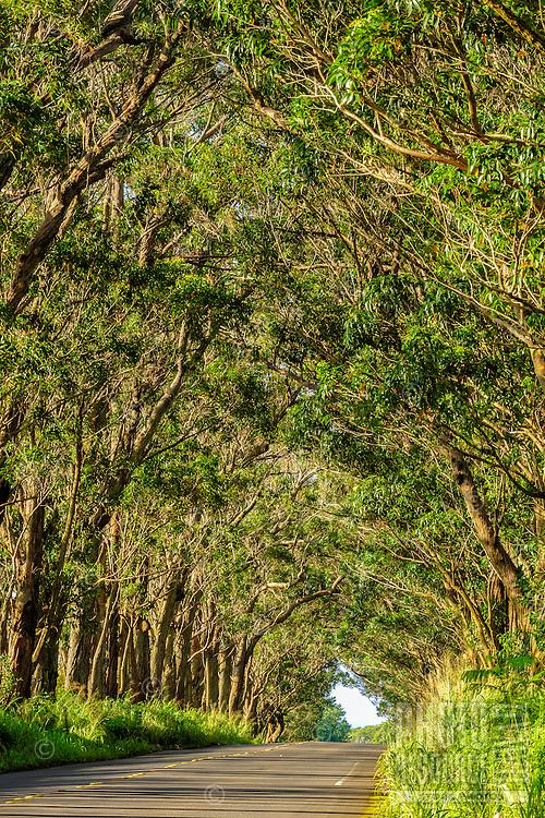 The early morning light illuminates a canopy of eucalyptus trees over a street in Koloa, Kaua'i.