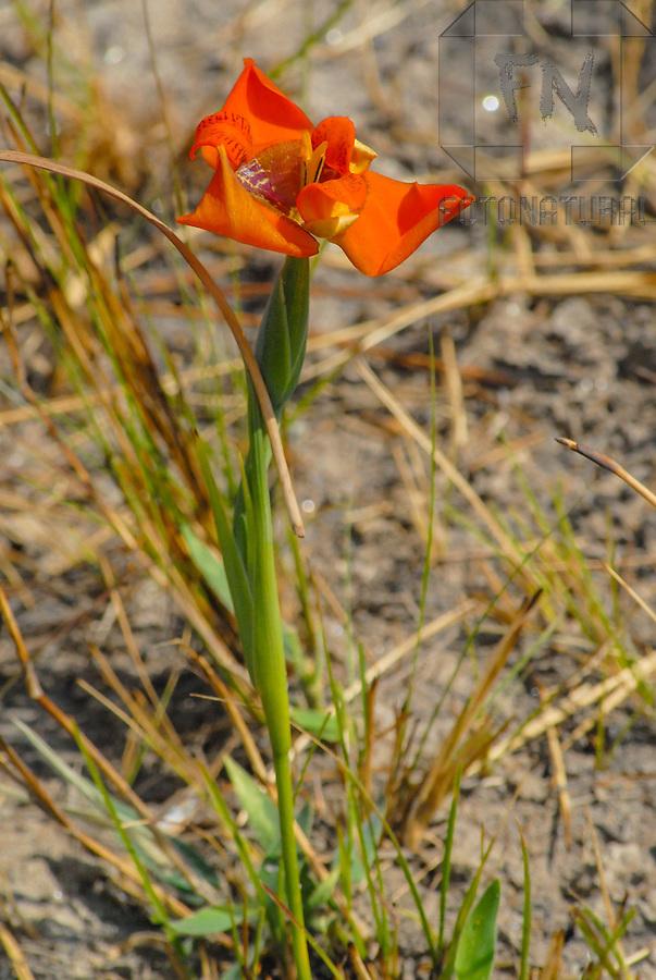 Flor de vegeta&ccedil;&atilde;o nativa do cerrado goiano | Flower of native vegetation of the brazilian savanna of Goi&aacute;s<br /> <br /> LOCAL: Piren&oacute;polis, Goi&aacute;s, Brasil <br /> DATE: 08/2006 <br /> &copy;Du Zuppani