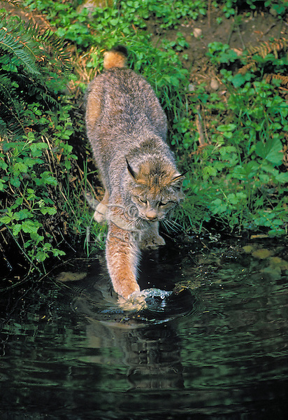 Lynx poking at relection in water. Summer. North America. Felis lynx canadensis.