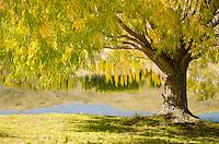 Autumn tree and reflection on the Kawarau River at Bannockburn near Cromwell, Central Otago, New Zealand - stock photo, canvas, fine art print