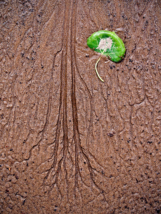 A fallen cottonwood leaf rests next to a tree-like rill mark in the sandy beach along the Green River in southern Utah, USA.