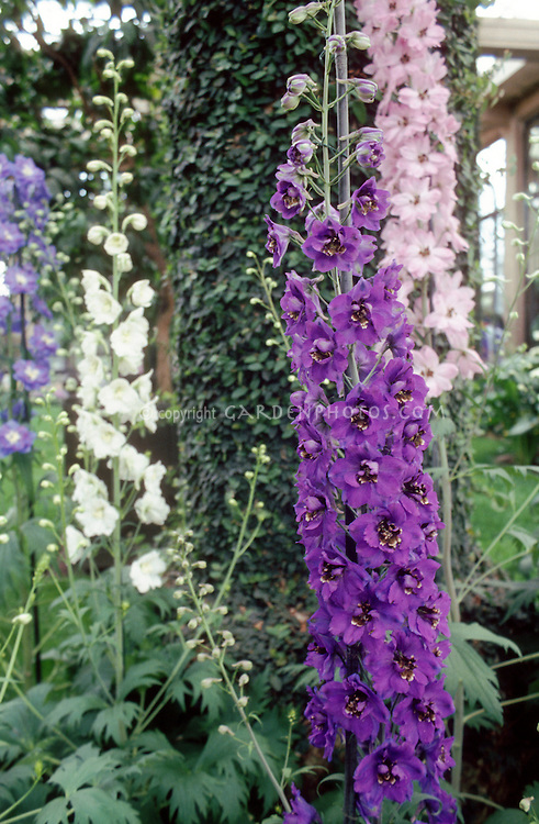 Delphinium Pacific Giants mixture of colors from purple, white, blue, pink. Will come true from seed.
