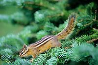 Yellow-pine Chipmunk (Tamias amoenus) on subalpine fir branch.  Pacific Northwest.