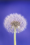 Common Dandelion Seed head (Taraxacum officinale).