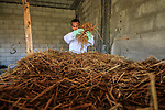 Palestinian Salem Muhanna, 26, prepares straw befor plant at his own mashroom farm, in Khan Younis in the southern Gaza Strip, May 27, 2019. Muhanna cultivates and sells Oyster mashroom, where it are grown on a bed that includes briquetted straw grounds, in a grow room at his house. Photo by Mahmoud Khattab
