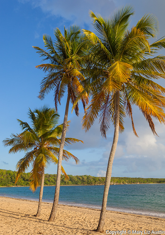Vieques, Puerto Rico: Evening light on three palm trees on the beach at Sun Bay