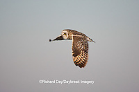 01113-009.15 Short-eared Owl (Asio flammeus) in flight at Prairie Ridge State Natural Area, Marion Co., IL