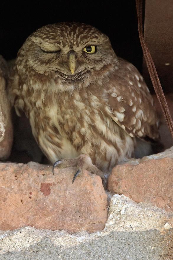 Little Owl (Athene noctua), Steinkauz, near Nikopol, Bulgaria