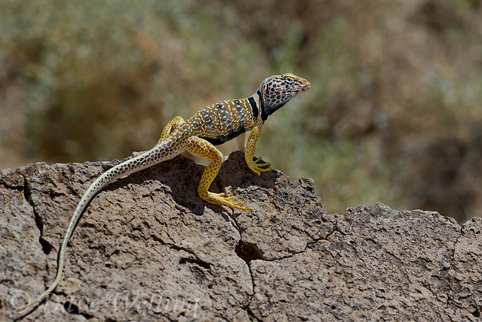 414390030 a wild male great basin or desert collared lizard crotaphytus insularis bicinctores in breeding color pattern perches on a large rock along chalk bluffs road near bishop in inyo county california