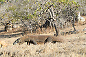 Large male Komodo dragon or Komodo monitor (Varanus komodoensis) in open savannah. Rinca Island, Komodo National Park, Indonesia. Endangered.
