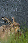 Urban living Brown hare (Lepus europaeus) living in a cemetery.