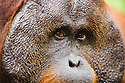 Dominant male orangutan, portrait, close-up, (Pongo pygmaeus) endangered species due to loss of habitat, spread of oil palm plantations, Tanjung Puting National Park, Borneo, East Kalimantan,