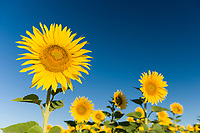 France, Provence, Valensole. Sunflowers stand tall against a blue sky.
