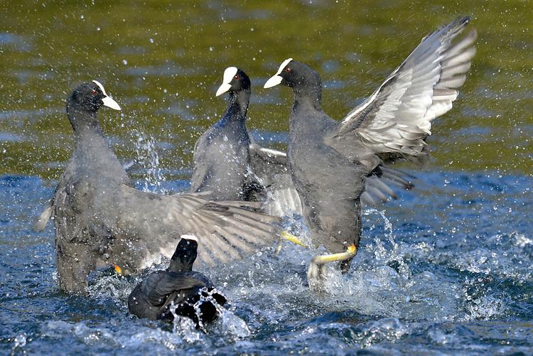 Coot - Fulica atra - Adult birds squabbling.