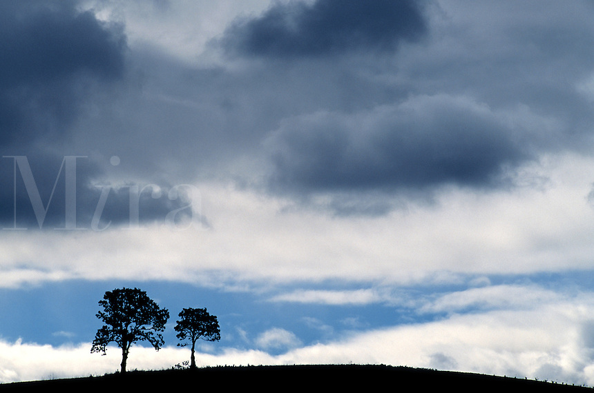 Two trees on hillside / Stormy sky