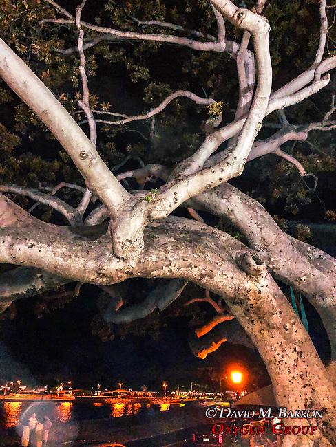 Banyon Tree On Kona City Street