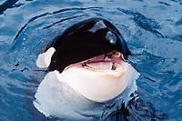 orca, Orcinus orca, with open mouth, Vancouver Aquarium, Vancouver, British Columbia, Canada, Pacific Ocean (c)