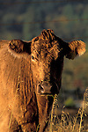 Cow portrait, rural Mendocino County, California