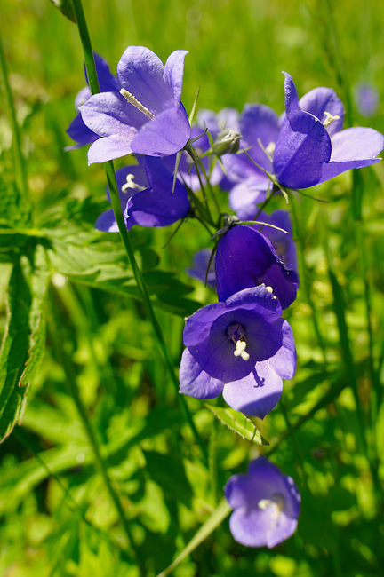 Alpine Harebell ( Campanula Rotundiflora ) - Bernese Alps, Switzerland