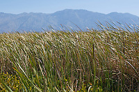 Cattails, Typha sp., grow in a marsh near the site of Eagle Borax Works, on West Side Road in Death Valley National Park, California.