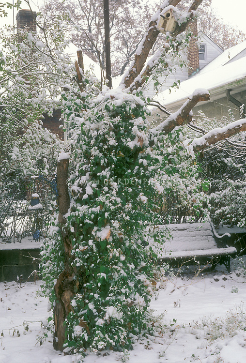 Clematis terniflora aka paniculata vine, garen bench, bird house, garden ornament bell, in winter snow with houses, retaining wall