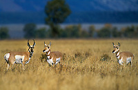 673080007 a wild male and two female pronghorn antelope stand in a field of tall dead grasses in grand tetons national park wyoming