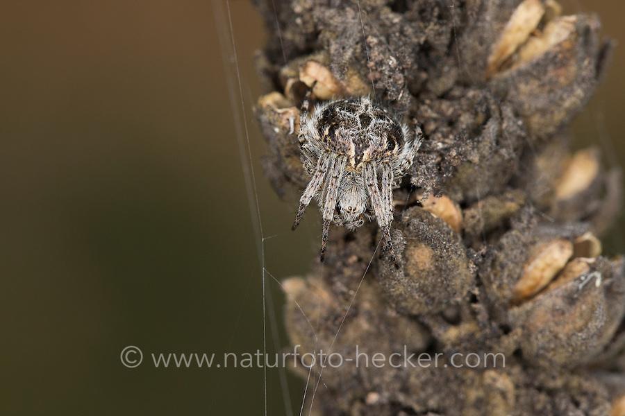 Körbchenspinne, Körbchen-Spinne, Agalenatea redii, Agalenatea redi, Gorse orbweaver, Echte Radnetzspinnen, Araneidae, Araneae