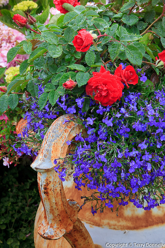Vashon-Maury Island, WA<br /> Driscoll garden, decorative urn planted with blue lobelia &amp; red roses