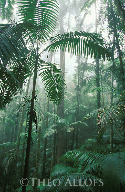 Australia, Queensland; Palm trees in Eungella National, sub tropical rainforest