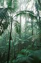 Australia, Queensland; Palm trees in Eungella National, sub tropical rainforest