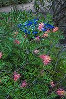 Grevillea 'Robyn Gordon' Pink flowering Australian  shrub in Arlington Garden Pasadena