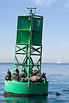 San Diego Bay, San Diego, California; California Sea Lions (Zalophus californianus) haul out of the water on a green channel marker buoy, with the open ocean and a sailboat in the background