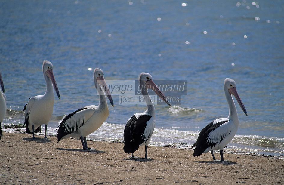 Océanie/Australie/South Australia/Australie Méridionale/Ile Kangaroos/Kingscote: Pélicans